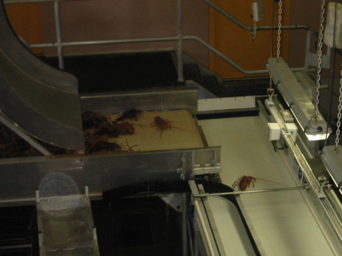 Lobsters on conveyor belt