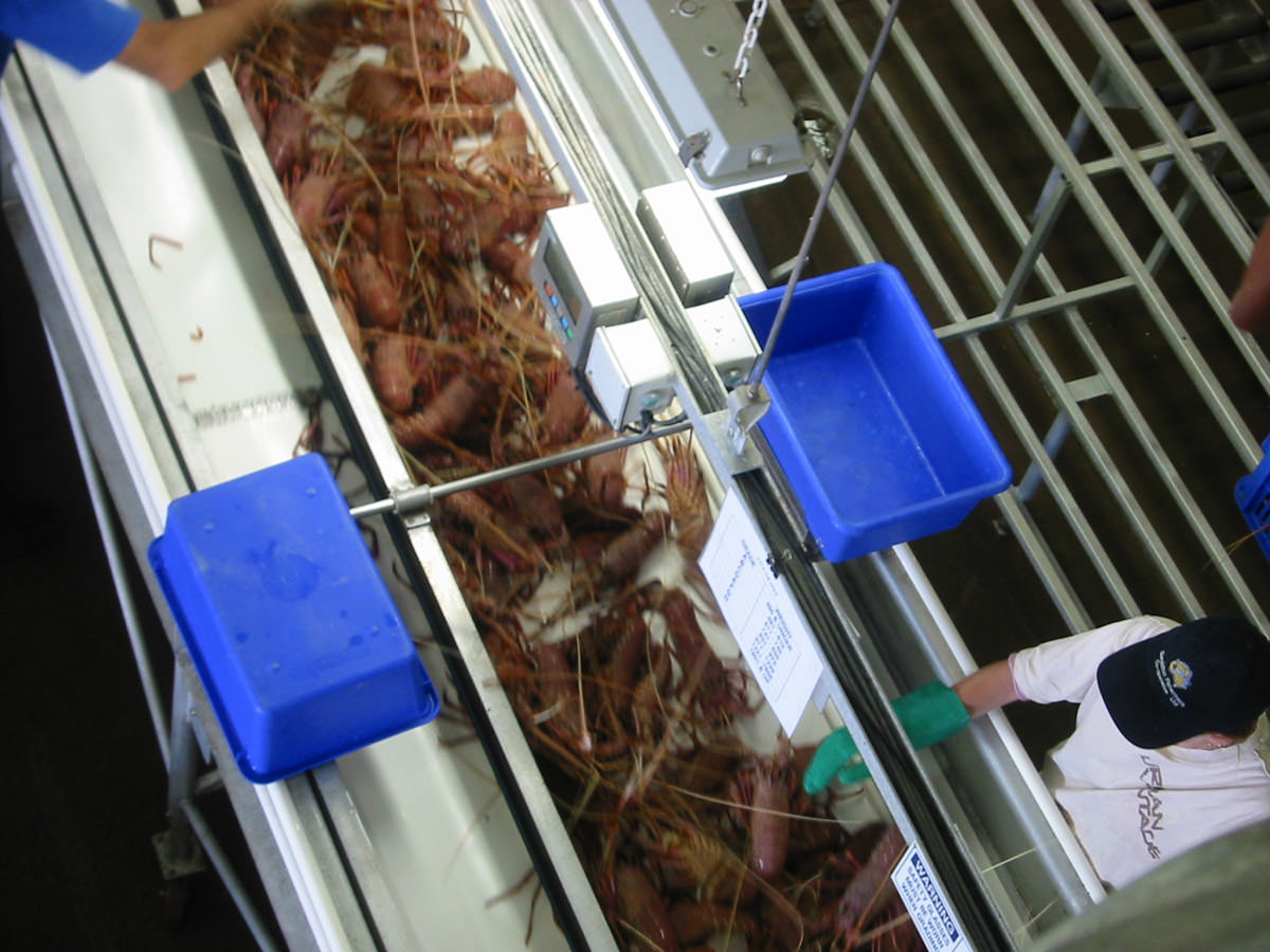Lobster sorting