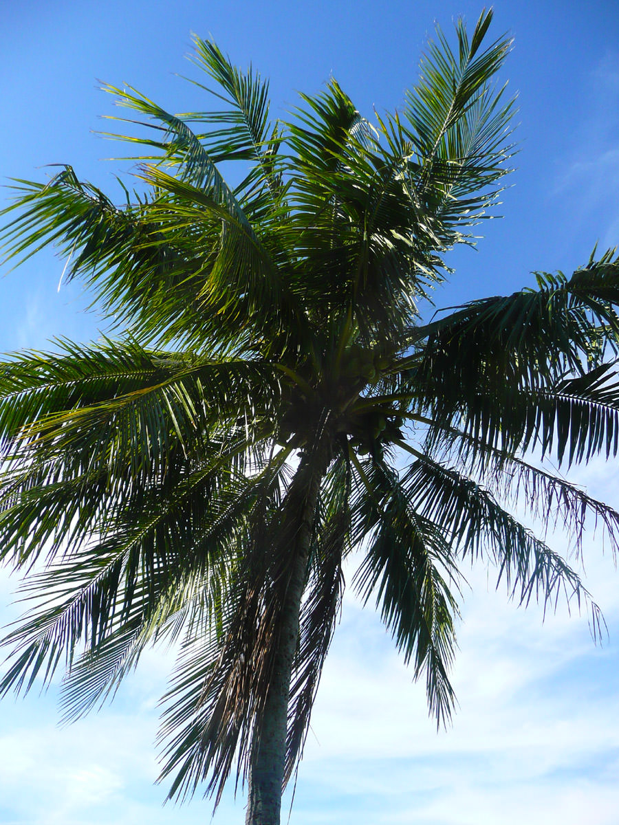 Looking up a coconut tree