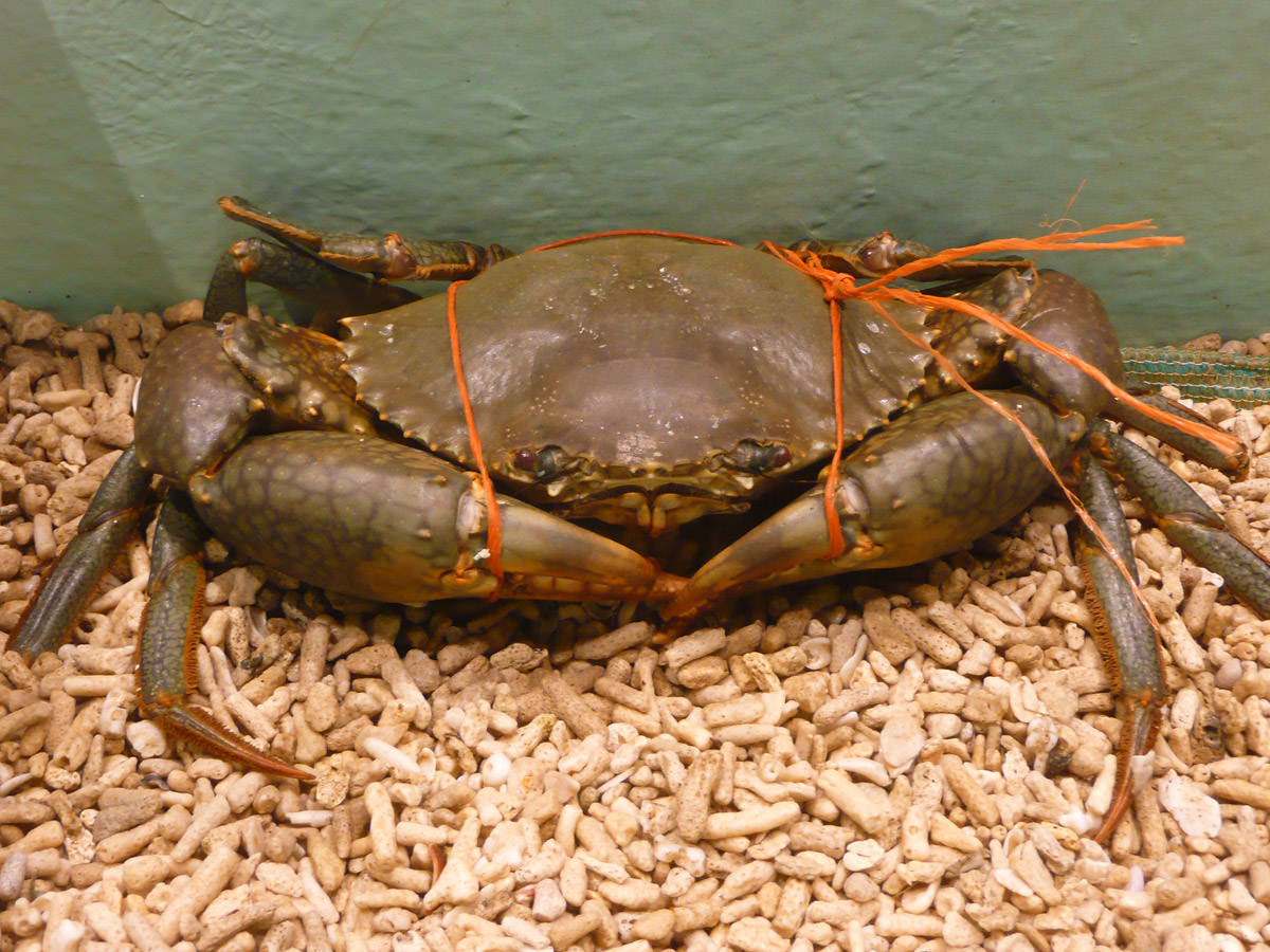 Live male mud crab - I can't help being crabby