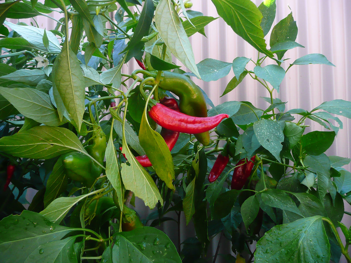 Chillies in our garden