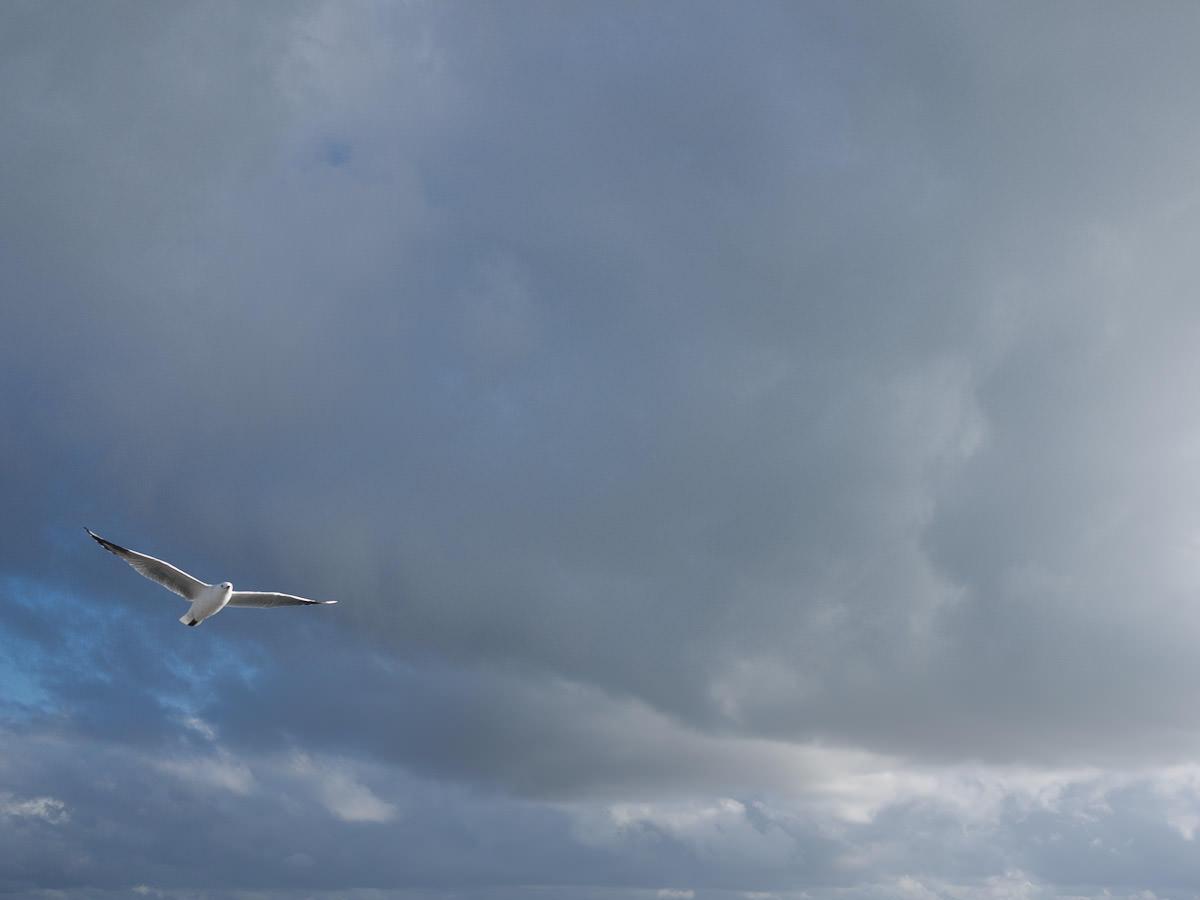 Seagull gliding