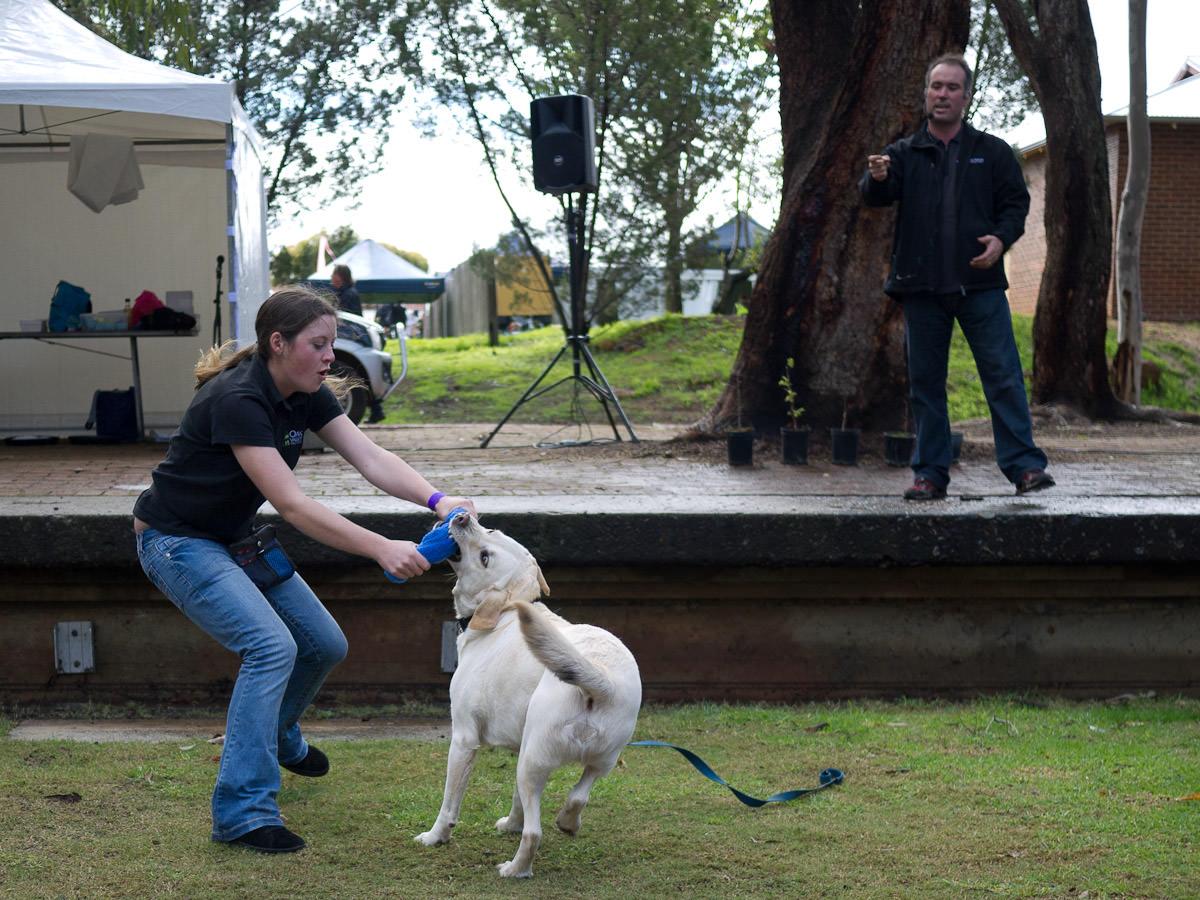 Errol the truffle dog having a play