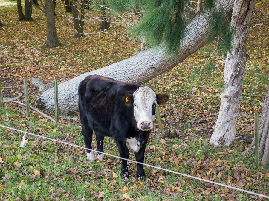 Hello, cow.