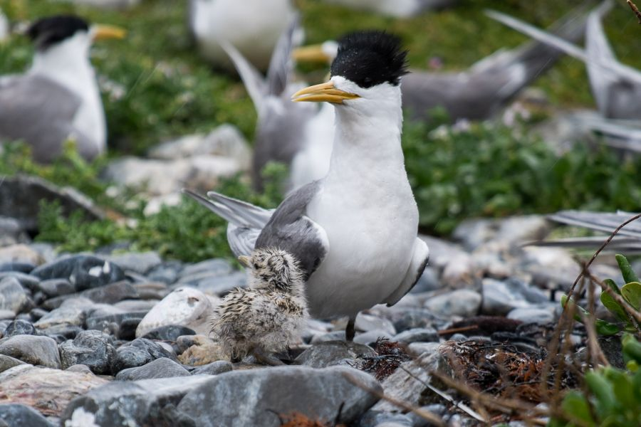 Adult tern and chick