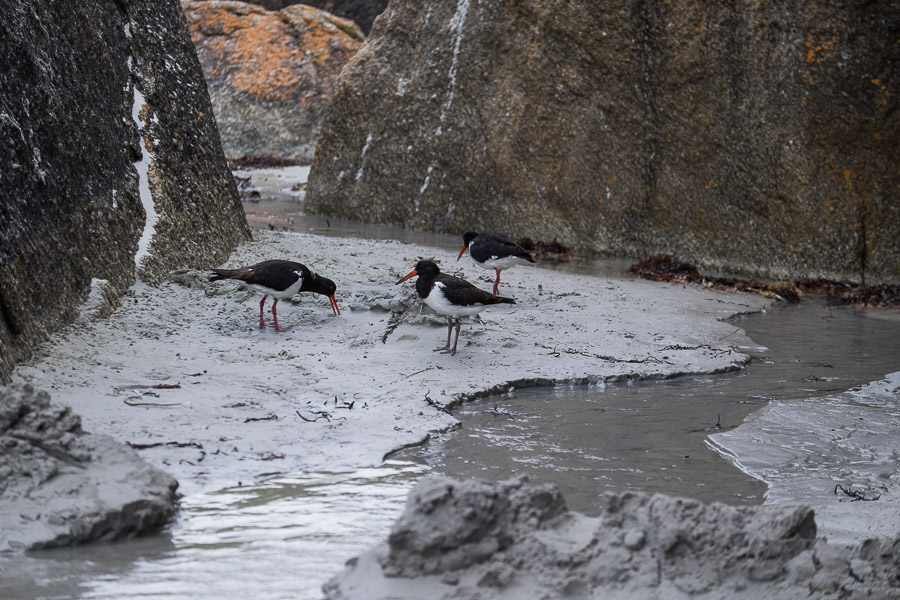 Oyster catchers